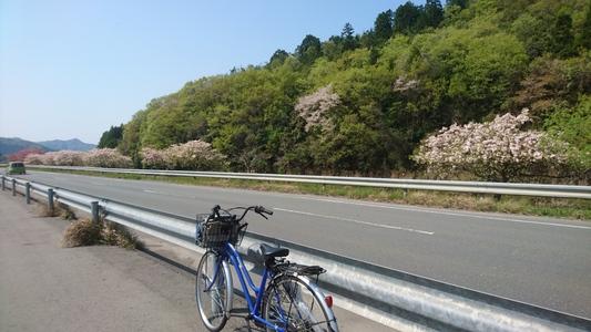 ここの桜、今が盛り