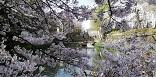 近江八幡市で水郷の畔~田園風景・琵琶湖~彦根市・彦根城は満開の桜